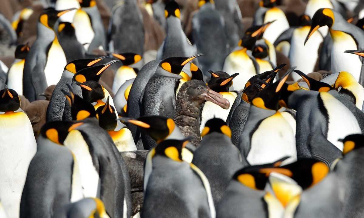 Swo_5_John-Newby_ALL_South-Georgia-King-Penguin-Petrel