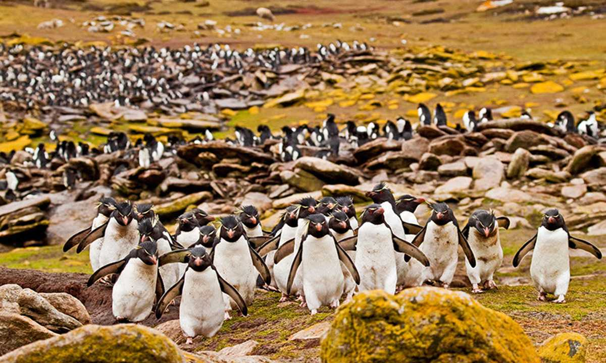 FTB_3_FTB_ALL_Rockhopper-penguins-crowd