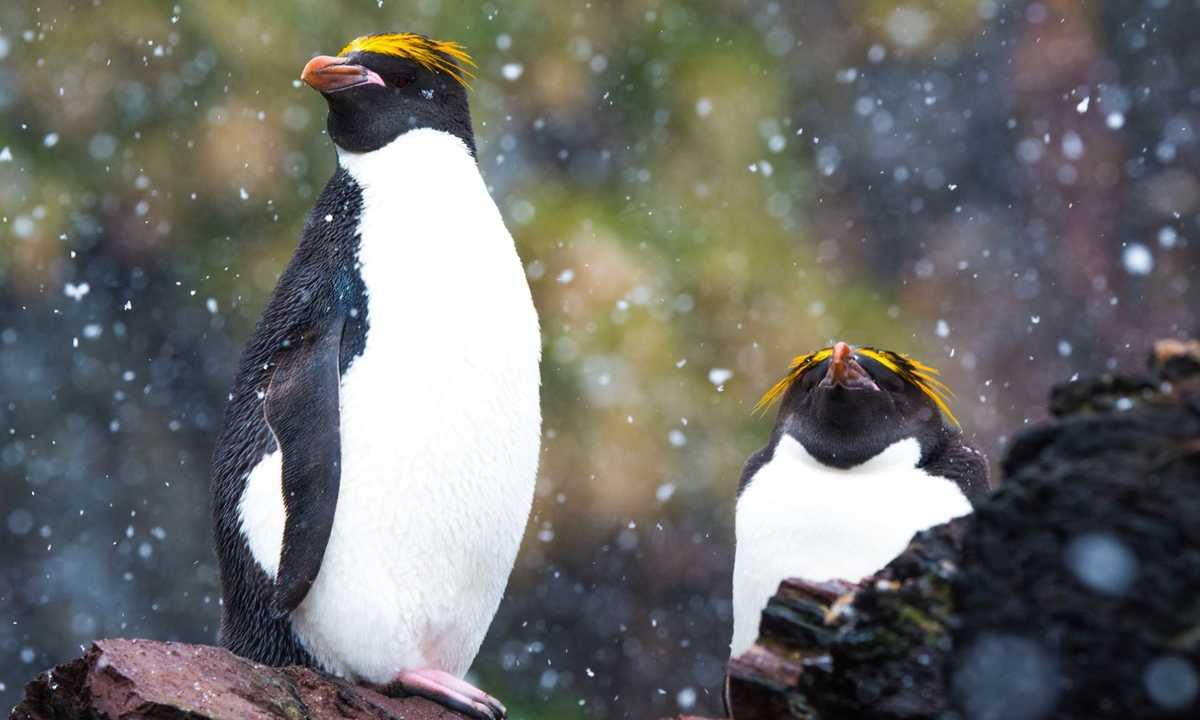 QUA_3_F_RTD_macaroni-penguins-southgeorgia