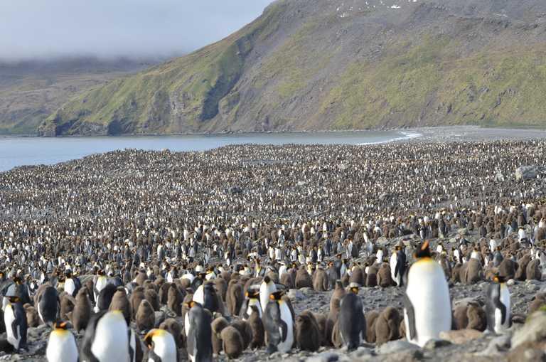 King Penguins in St Andrew's Bay