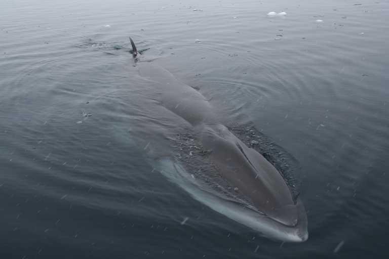 AM_3_AM_ALL_minke whale antarctica