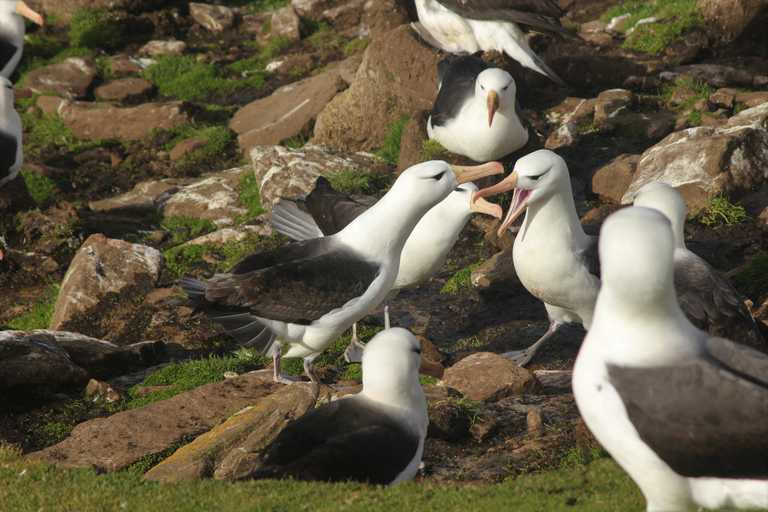 CUS_3_Charles-Leslie-Cook_PRIV_Blackbrowed_albatross-e