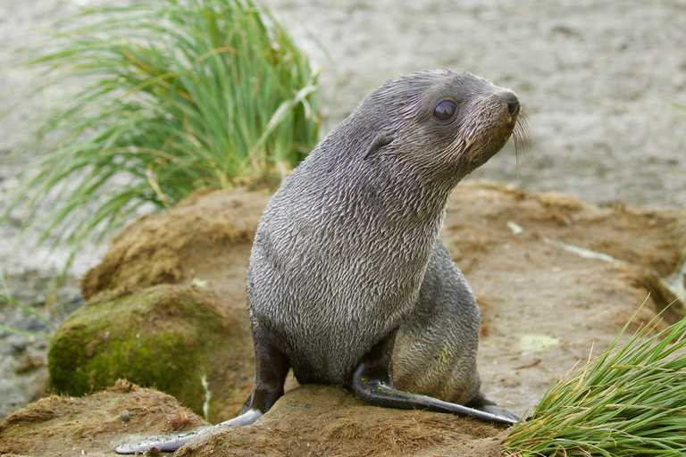 CUS_3_Jane-Kelley_PRIV_antarctic-fur-seal-pup-e