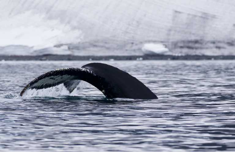 CUS_3_Jane_Kelley_PRIV_humpback-whale-tail