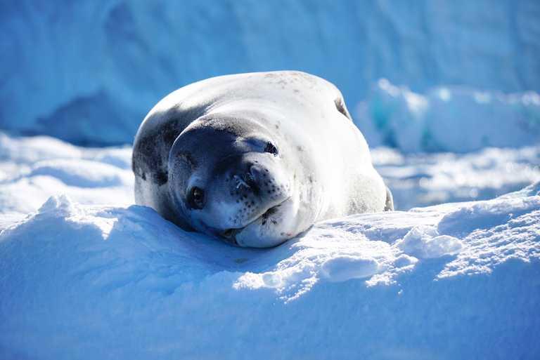 CUS_4_Renee-Park_PRIV_Leaopard-seal-Antarctica