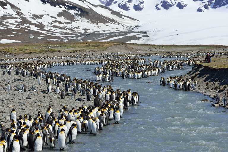 OCE_3_Martin-van-Lokven_RTD_King-Penguins_St Andrews-Bay_November2