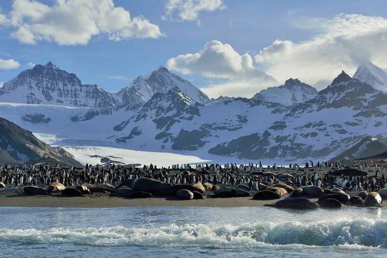 OCE_4_Martin-van-Lokven_RTD_Elephant-Seals_King-Penguins_St Andrews-Bay_November