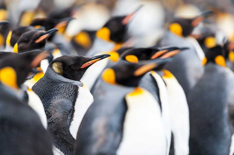 OO_3_Renato-Granieri_RTD_king penguin Salisbury plain South Georgia2
