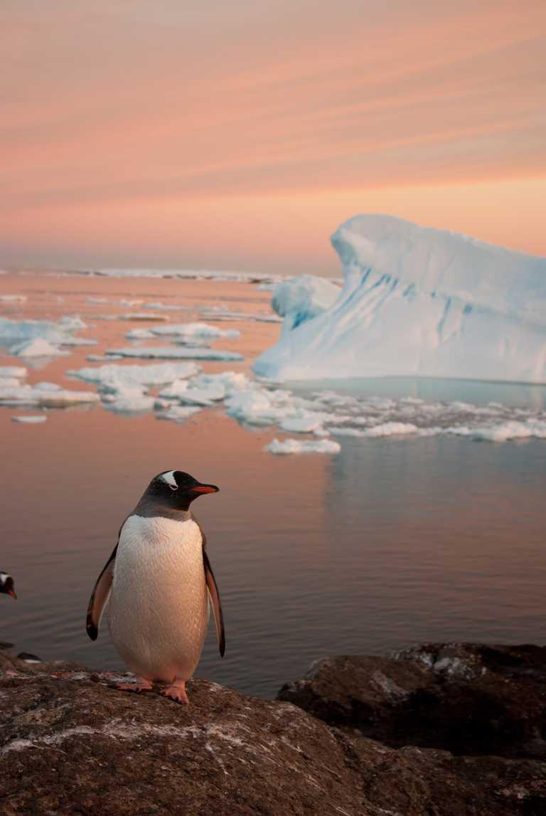 SHU_3_SHU_ALL_Solo gentoo Antarctica_e