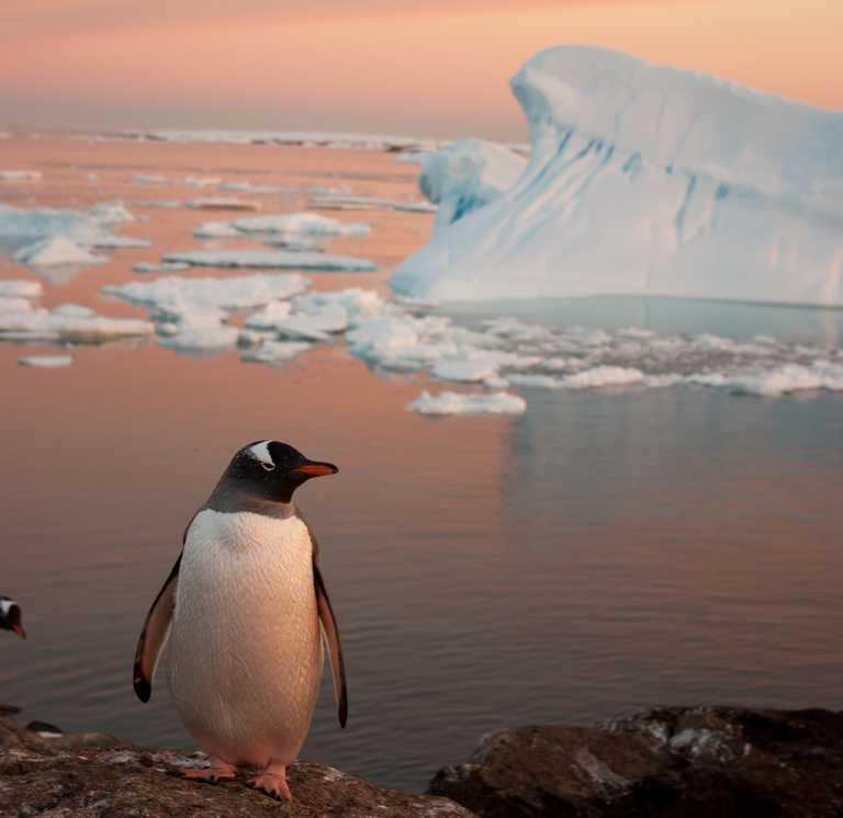 SHU_3_SHU_ALL_Solo gentoo Antarctica_e4