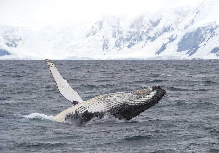SHU_3_SHU_ALL_whale Antarctica