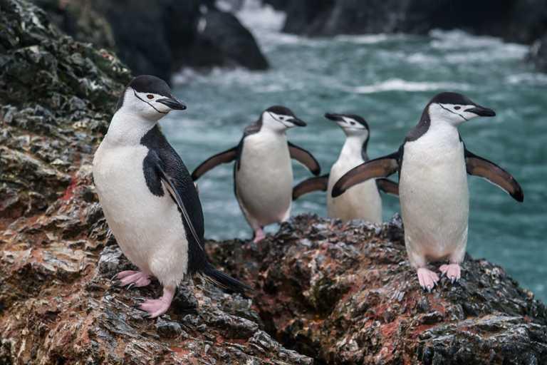 SHU_4_SHU_ALL_Chinstrap-penguins2
