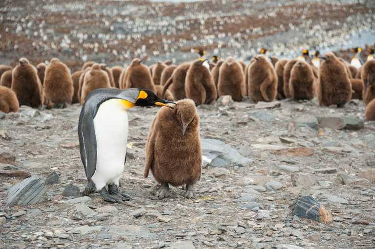 SHU_4_SHU_ALL_penguin chicks January EDIT