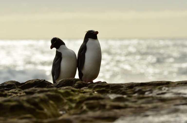 Swo_5_John-Newby_ALL_South georgia macaroni penguins