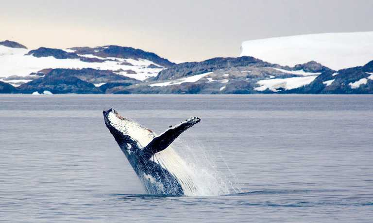 Antarctic Whale Safari